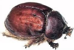 Cochineal Beetles sound appetizing